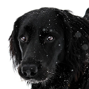 Snow Puppy by Emily Schmidt - Animals - Dogs Portraits ( animal snow ,  )