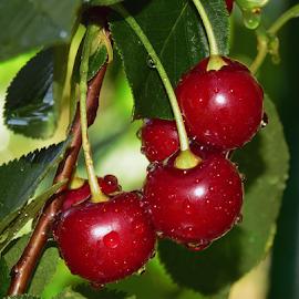ripe cherry by LADOCKi Elvira - Food & Drink Fruits & Vegetables (  )