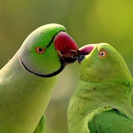 Mr and Mrs. Rose Ringed Parakeet by Manoj Kulkarni - Animals Birds ( parakeet, kissing, pair, green, ringed, parrot, wildlife, birds, bird, love, two, rose, kiss, red, nature, beak )