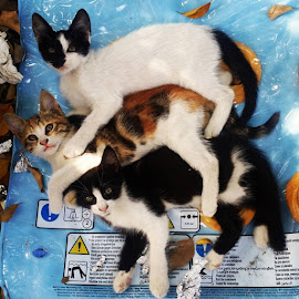 #family  😙🐈🐈🐈 by Petar Antonov - Animals - Cats Portraits