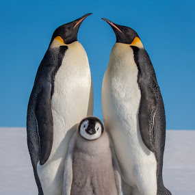 Emperor Penguins and Chick by Steve Bulford - Animals Birds ( wildlife, feathers, cute, love, bird, snow hill island, chick, steve bulford, mother, cold, farther, happy, snow, penguin, pairents, emperor penguin,  )