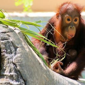 Orangutan Portrait by Yamin Tedja - Animals Other Mammals ( zoo, orangutan, phoenix, portrait, monkey, animal,  )