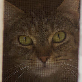 INSIDE by Kathryn Bisley - Animals - Cats Portraits ( cats, animals, cat eyes, nature up close, nature close up, cat playing )