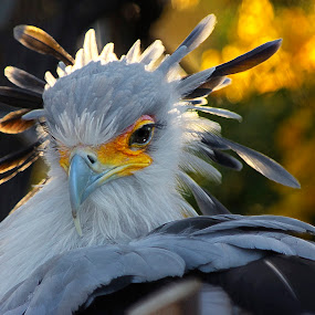 Secretary Bird by Olga Charny - Animals Birds