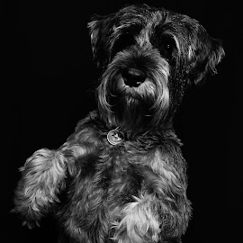 Did you say 'Cookies? by Susan Pretorius - Animals - Dogs Portraits