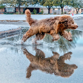 Street Reflection by Kathy Suttles - Animals - Dogs Running ( reflection, winter, labradoodle, street, action, play, in air, fun, running )