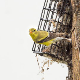 Time for Nesting by Sheen Deis - Animals Birds ( nature, small birds, yellow, birds, goldfinch )