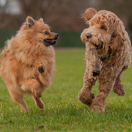 play time by Michael  M Sweeney - Animals - Dogs Playing ( dogs, play, michael m sweeney, dog )