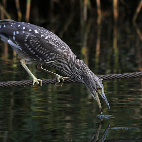 Black-crowned night heron talking to it's mirror image by Fred van Maurik - Animals Birds ( water, wing, fish, wingspan, zuidwolde, feathers, birds, feather, netherlands, bird, black-crowned night heron, groningen, wetlands, wings, nycticorax nycticorax, juvenile, night heron )