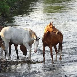 Le bain du soir by Ramade Genevieve - Animals Horses (  )