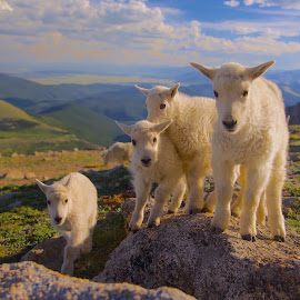 Curious by Debbie Hunt - Animals Other Mammals ( babies, mountains, mt  goats )