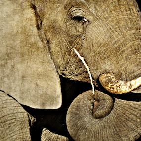 African Elephant 2 by Jackson Visser - Animals Other Mammals ( national park, african, elephant, wildlife, kruger )
