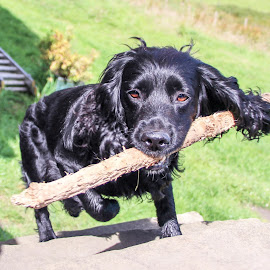 Stick mad by Colin Wood - Novices Only Pets ( spaniel dog )