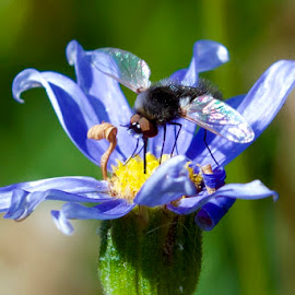 Hoverfly by Lian van den Heever - Animals Insects & Spiders ( hairy, petals, blue, proboscis, stymen, legs, spread, insect, legswings, flower, black, eye )