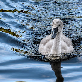 Cygnet by Lesley Hudspith - Animals Birds ( ugly, cygnet, swan, grey, baby )