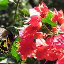 Ceylon Birdwing Butterfly