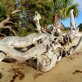 Driftwood on Shired Island by Pam Jones - Landscapes Beaches ( shired island )