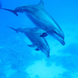 dolphins by AB Rossouw - Nature Up Close Water ( water, blue, waterscape, fish, scuba, diving )