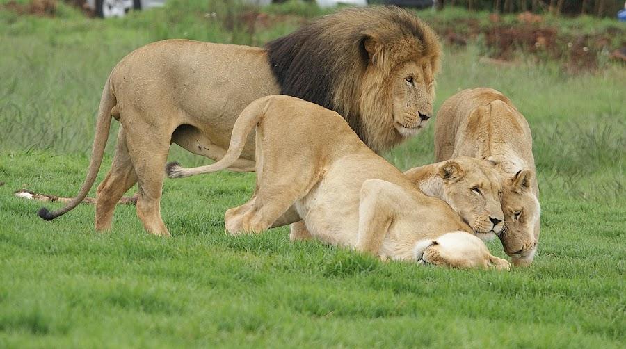 The way I clean my face by Charmane Baleiza - Animals Lions, Tigers & Big Cats ( charmane baleiza, lion, big cats, lioness, wildlife )