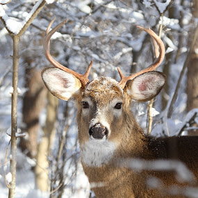Whitetail Buck by Guy Longtin - Animals Other ( nature, buck, whitetail, wildlife, deer )