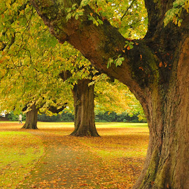 Park Giants by Grant Goeieman - City,  Street & Park  City Parks ( colorful, leaf, colorfull, leaves, united kingdom, colour, england, colourful, leafs, autumn, bark, greenery, path, bath, colored, autumn colors, autumnal, park, autumn leaves, green, colors, beautiful, beauty in nature, colours, trunk, color, trees,  )
