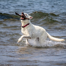 Dog playing fetch in the lake by Debbie Quick - Animals - Dogs Playing ( debbie quick, german shepherd, adirondacks, canine, water, debs creative images, new york, k9, animal photography, dog photography, animal, playing, stick, dog, playful, lake, lake george, pet,  )