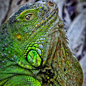 Green Iguana by Rudi Yanto - Animals Reptiles ( green, tropical, iguana, reptile )