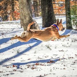 On the Run by Myra Brizendine Wilson - Animals - Dogs Running ( belgian malinois, dogs, aero, brown dog, roxy, malinois, canine, belgian shepherd, pet, snow, pets, brown dogs, dog )