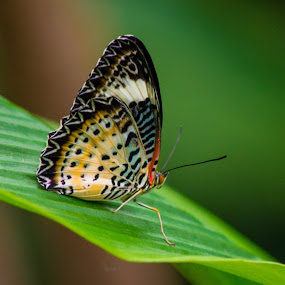Leopard Lacewing by Darrin Halstead - Animals Insects & Spiders ( butterfly, beautiful, closeup,  )