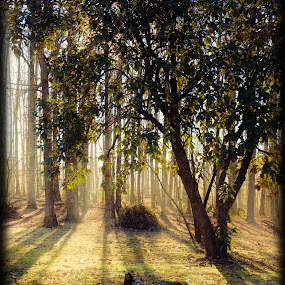 Sun Through Trees by Brenda Hooper - Landscapes Sunsets & Sunrises ( sky, grass, green, trees, yellow, sun,  )