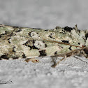 Green Owlet Moth