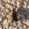 Yellow-spotted Graylet Moth