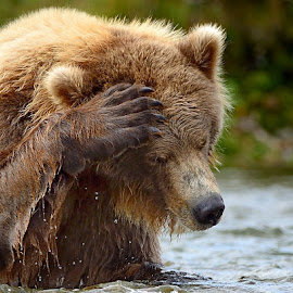 What now? by Frode Wendelbo - Animals Other Mammals ( mammals, grizzly, katmai np, alaska, wildlife, katmai, brown bear, grizzly bear )