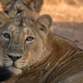 Lioness by Ganesh Namasivayam - Animals Lions, Tigers & Big Cats ( gir national park, lion, lioness portrait, lioness, asiatic lion )