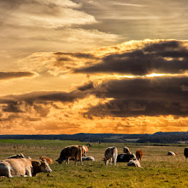 A warm evening in Yorkshire by Des King - Landscapes Prairies, Meadows & Fields ( uk, animals, sunset, norfolk, landscape, relax, tranquil, relaxing, tranquility )