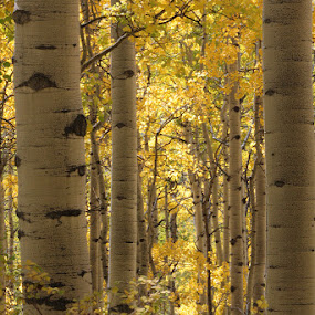 Fall Aspen by David Short - Landscapes Forests ( colors, fall, colorado, aspin )