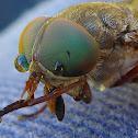 Horse Fly