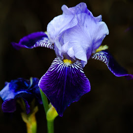 Iris by Dave Lipchen - Flowers Single Flower ( iris )