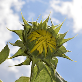 Sunflower Bud by Teresa Wooles - Flowers Flower Buds