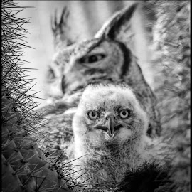 Great Horned Owl by Dave Lipchen - Black & White Animals ( great horned owl,  )