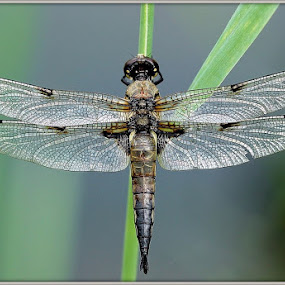 dragonfly by Anže Papler - Animals Insects & Spiders