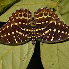 ellow Archduke Butterfly