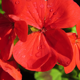 Red Geranium by Angie Keverne - Novices Only Flowers & Plants ( red, geranium, dew, garden, flower,  )
