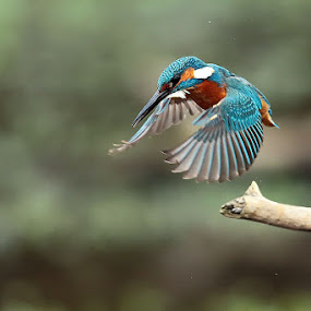 Kingfisher by Matteo Chinellato - Animals Birds ( bird, kingfisher, uccello, animal, motion, animals in motion, pwc76 )