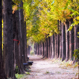 autumn metasequoia road by Aaron Choi - City,  Street & Park  City Parks ( leading line, seasonal, bench, colorful, haneul, fall foliage, mapogu, travel, beauty, road, landscape, leaves, asian, city, tree, nature, autumn, foliage, trail, asia, metasequoia, picnic table, korea, peaceful, park, track, sequoia, tourism, scenic, korean, destination, mapo, red, season, color, fall, seoul, trees, viewpoint, view, haneul park, picnic, tunnel )