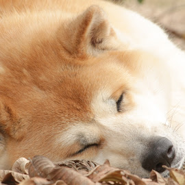 Dog Akita Sleeping by Bia Froese - Animals - Dogs Portraits ( dog portrait, dog )