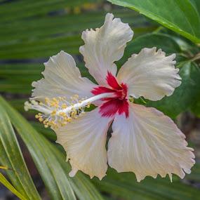 Cream Hibiscus by Trevor Smart - Flowers Single Flower ( home, hibiscus, plants, flowers, garden,  )
