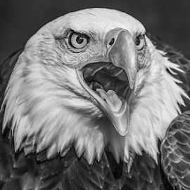 Sam by Garry Chisholm - Black & White Animals ( bird, garry chisholm, nature, wildlife, prey, raptor )