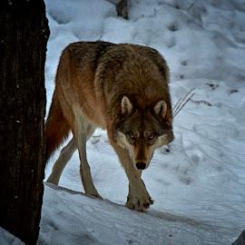 Timberwolve by Mike Woodard - Animals Other Mammals ( wild, winter, wolf, timberwolve )