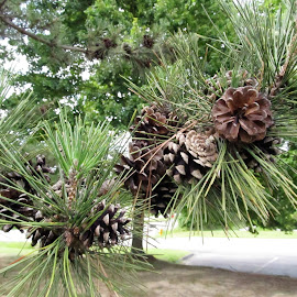 Pine cones by Maricor Bayotas-Brizzi - Nature Up Close Trees & Bushes